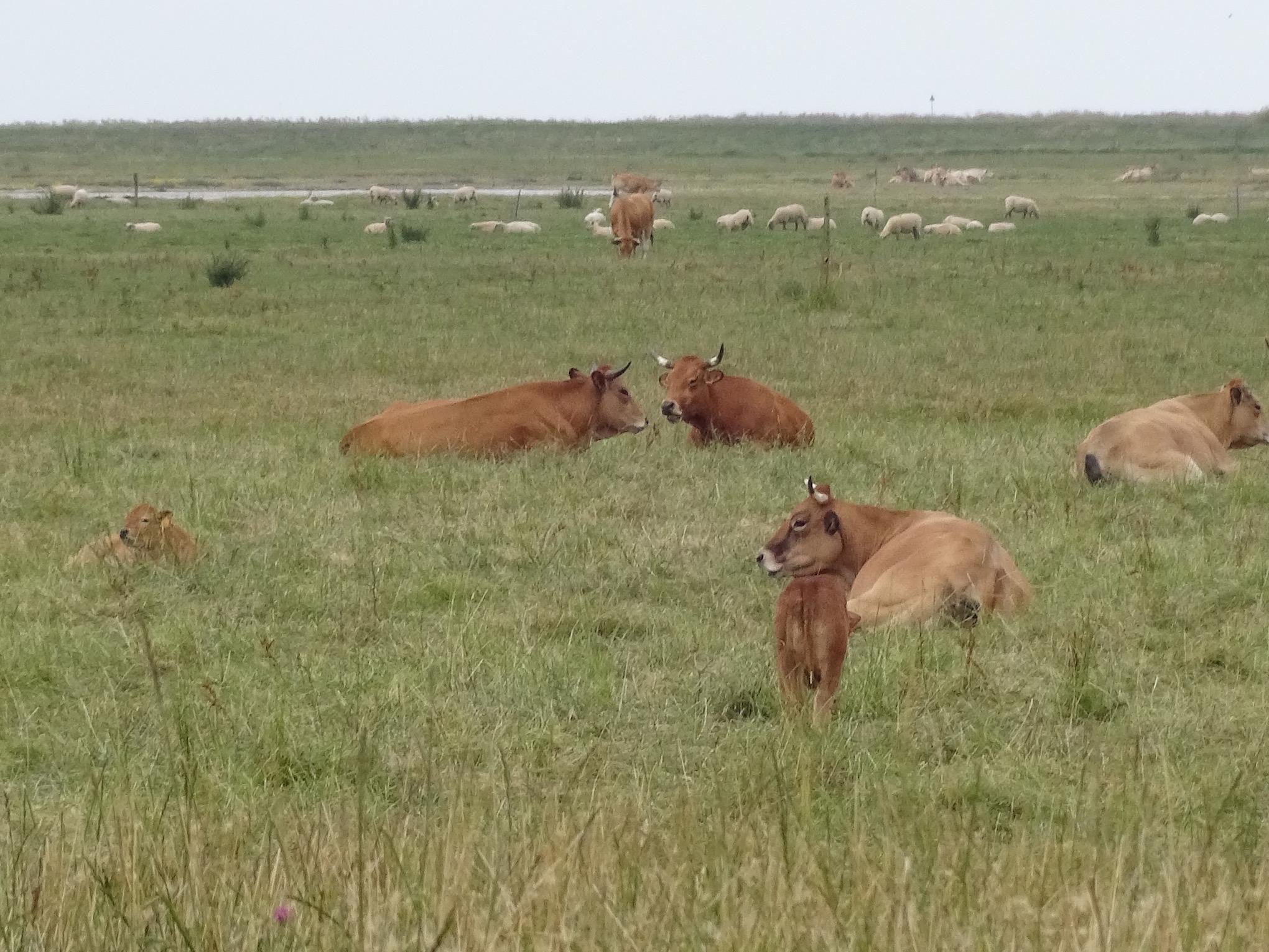 les vaches dans les marais
