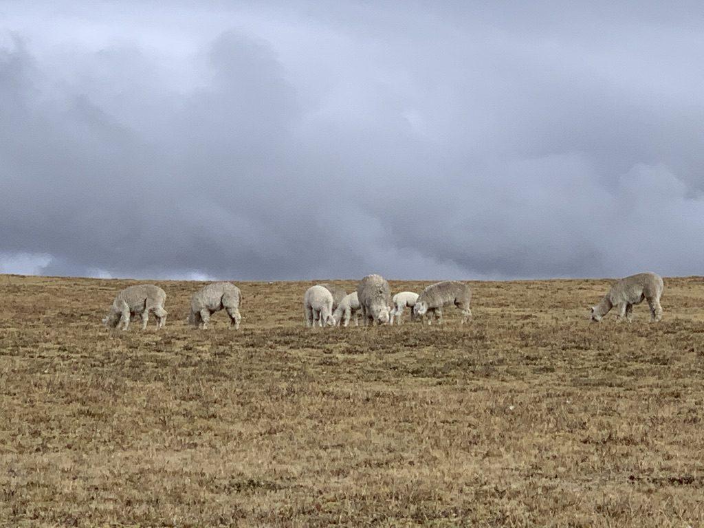 Les alpaguas aux champs