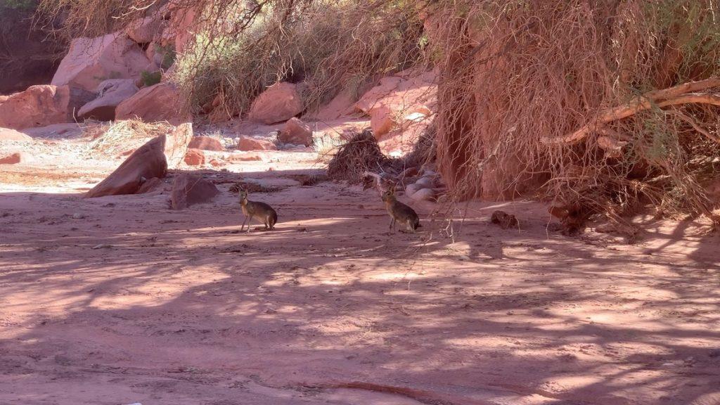 Lièvres de patagoni