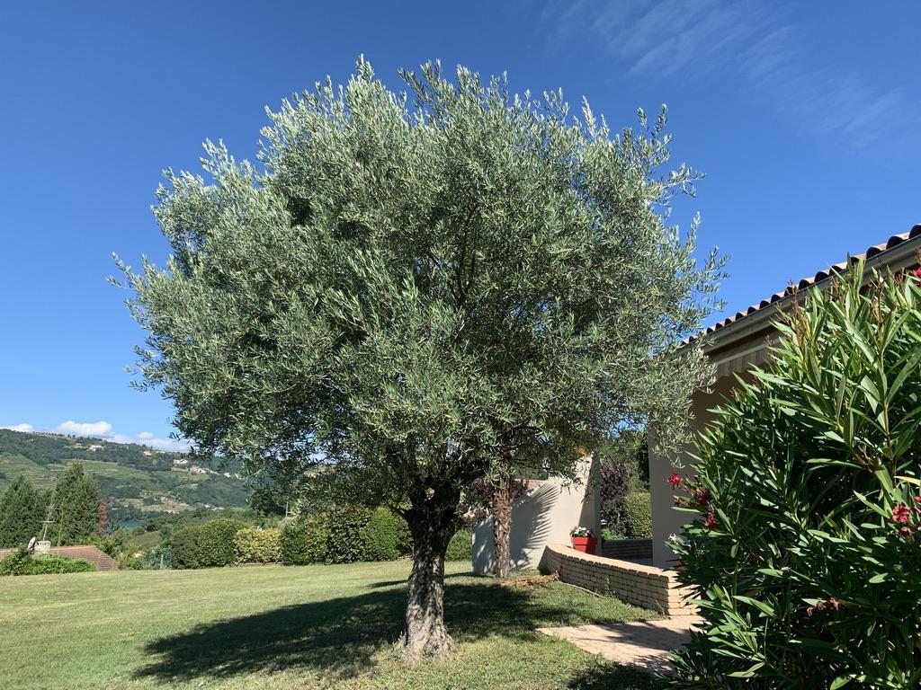 Encore un olivier