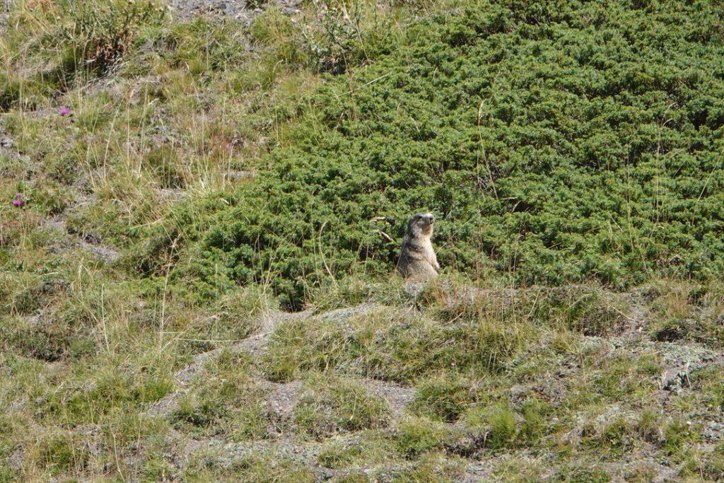 Tient une marmotte