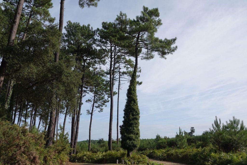 Le pin sous toutes ses formes